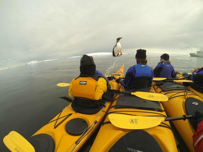 Ibamos en kayak por la Antártida y justo nos saltó un pingüino encima