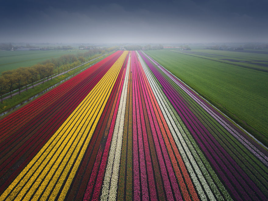 This Was Captured By A Drone. A Very Wide Tulip Field Leading Into The Distance, Almost Like An Arrow