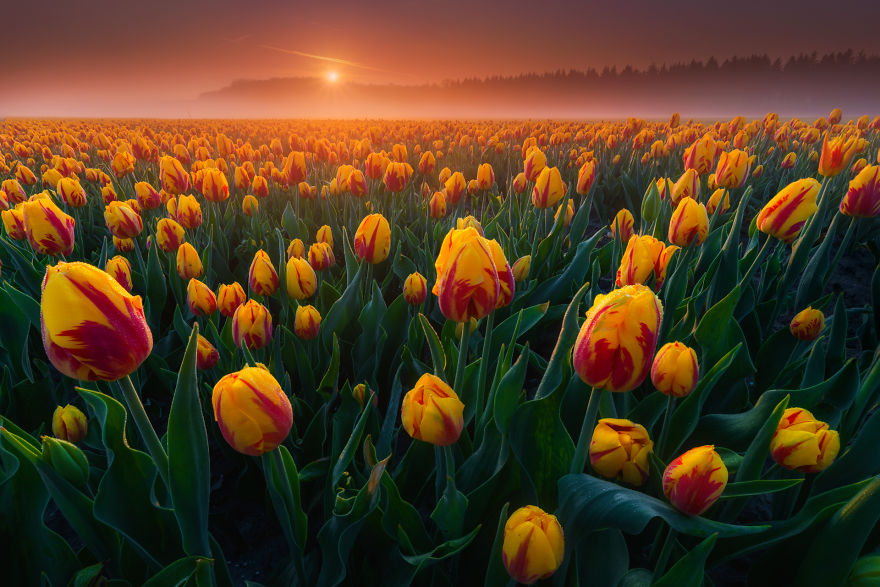 I've Been Wanting To Capture Tulips In The Morning With Some Mist On The Field For Years. This Year I Finally Managed To Do It And I Consider It One Of My Best Tulip Shots To Date