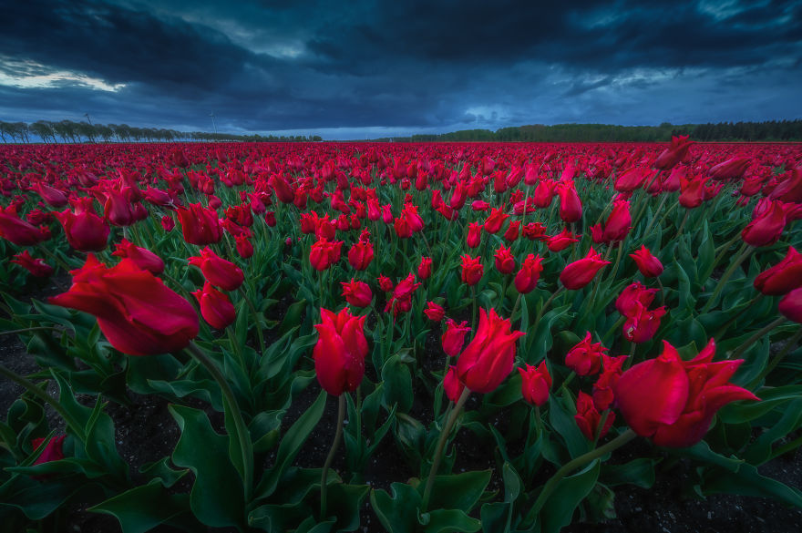 I Love Photographing The Tulips With Dark Skies. Especially Red Vs Deep Blue Is A Great Color Combination