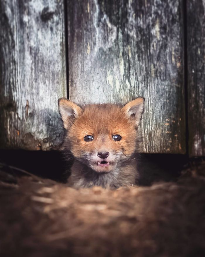 Finnish Guy's Photos Showing Foxes Like They Step Straight Out From Fairytale