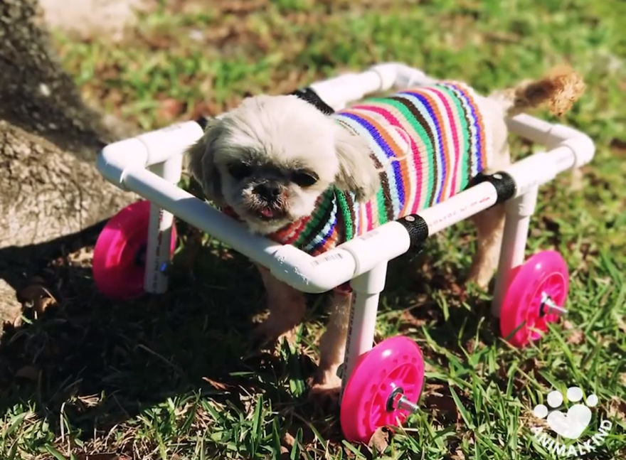 Woman Is Determined To Help Disabled Puppy Walk Again