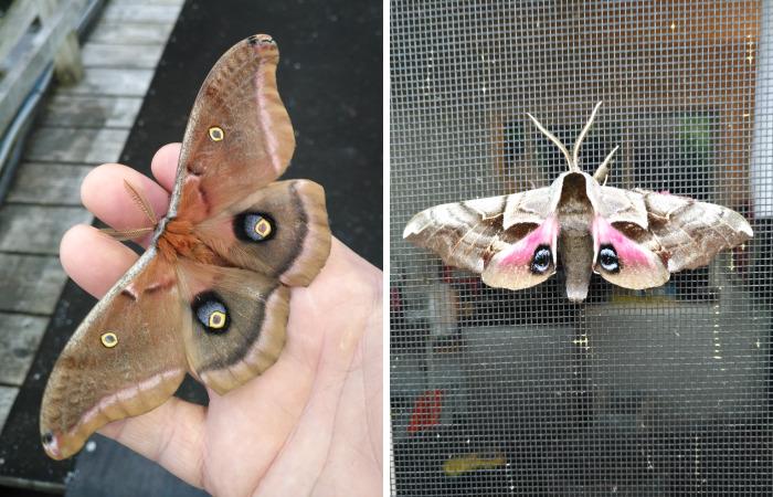 Giant Moth In British Columbia, Canada