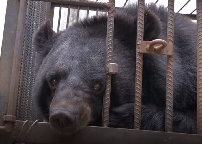 Chinese Family Has Been Taking Care Of A Bear For Two Years Thinking It Was A Dog, Certainly Could Not Keep It