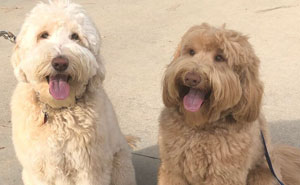 Owner Left In Tears After Her Dog Was Accidentally Reunited With His Sibling