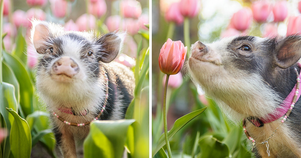 I Photographed A Pig In Pink Tulips | Bored Panda
