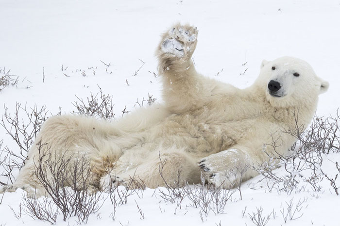 Too Tired To Get Up, But Welcoming All The Same... Churchill, Canada By Simon Gee