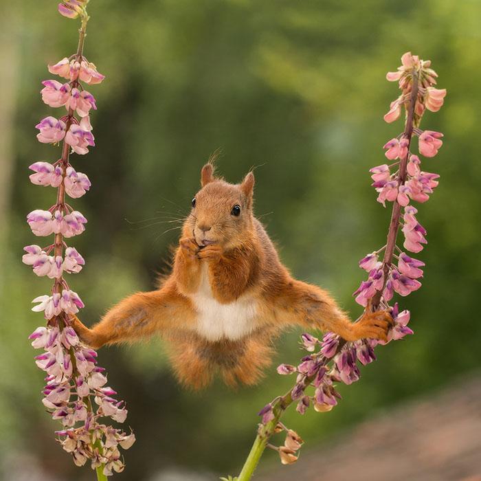 A Wild Red Squirrel In A Split Between Lupines In Bispgarden, Sweden By Geert Weggen