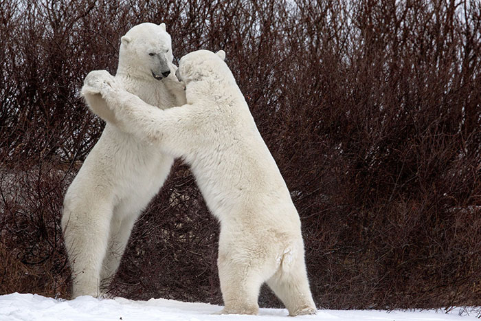 The Funny Pose Assumed By The Two Bears During Their Struggle, As If They Were Practicing A Vienna Waltz, Churchill, Canada By Luca Venturi