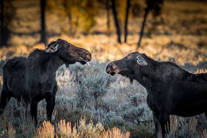 A Female Moose Sticking Her Tongue Out, Wyoming By Barney Koszalka