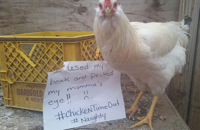 Chicken Humor Funny: Farmers Are Shaming Their Chickens For Their 'Crimes' And