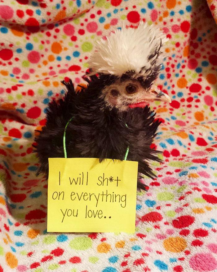 Funny-Chicken-Shaming-Farm-Life