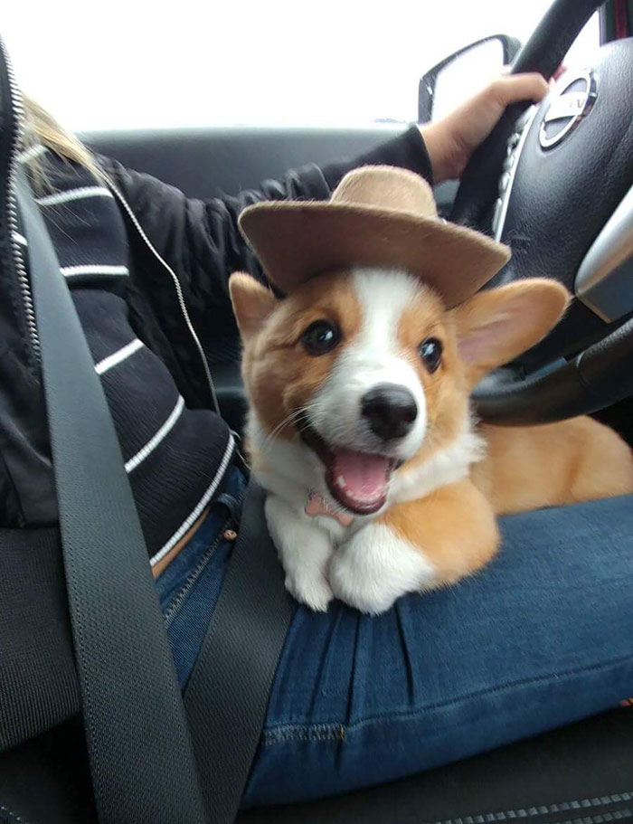 My Corgi Is Ready To Herd