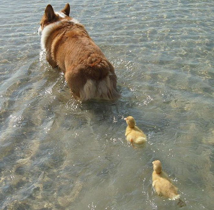 Corgi The Duck Mama