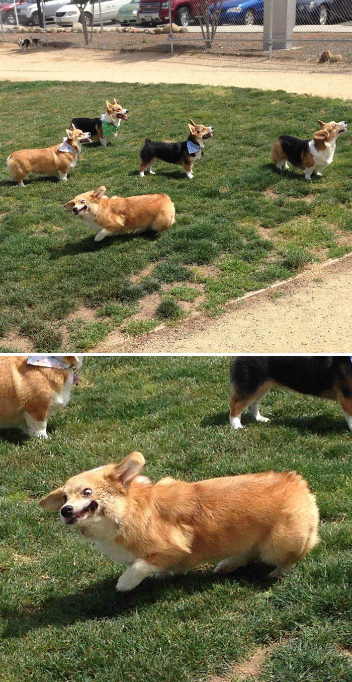 Went To A Corgi Meet Up This Weekend.  The Other Corgis Are All Looking At The Ball.  My Dog On The Other Hand Is Derping Really Hard