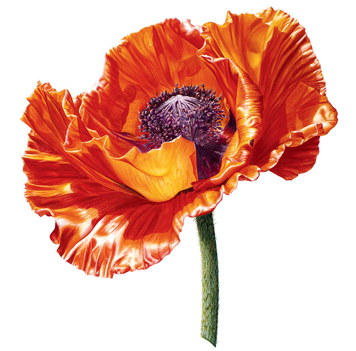 I Painted A Poppy Flower From Birth To Death In Watercolor
