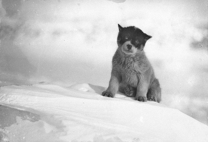 Blizzard, The Pup In Antarctica