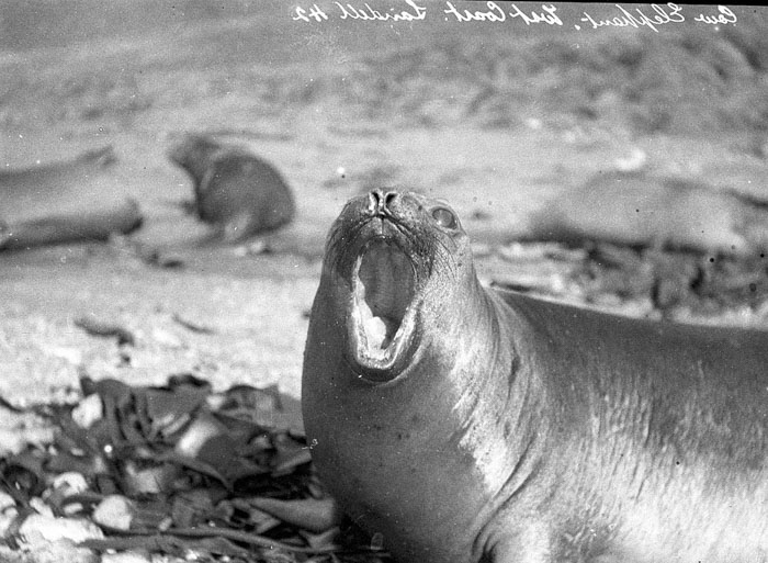 Female Sea-Elephant, Macquarie Island