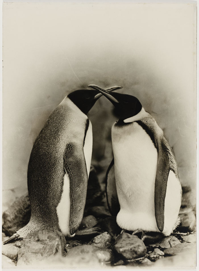 King Penguins, Antarctica