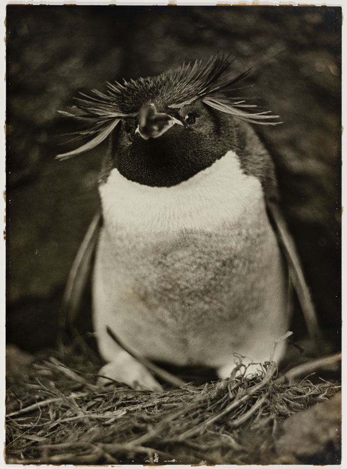 Sclater Penguin