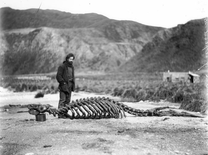 Skeleton Of Sea-Elephant & Harold Hamilton