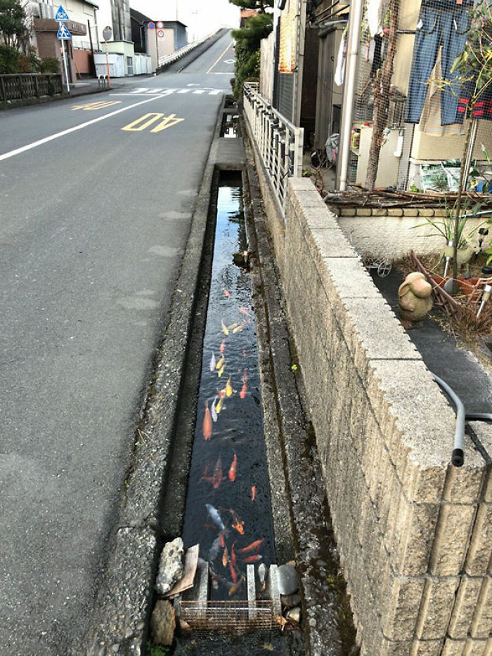 Koi Fishes Even Live In Drainage Channels In Japan