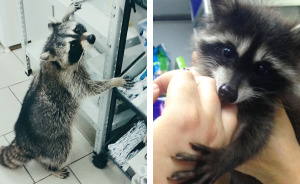 "This Raccoon That ""Works"" At A Vet Clinic In Russia Has A Special Ability To Calm Sick Dogs"
