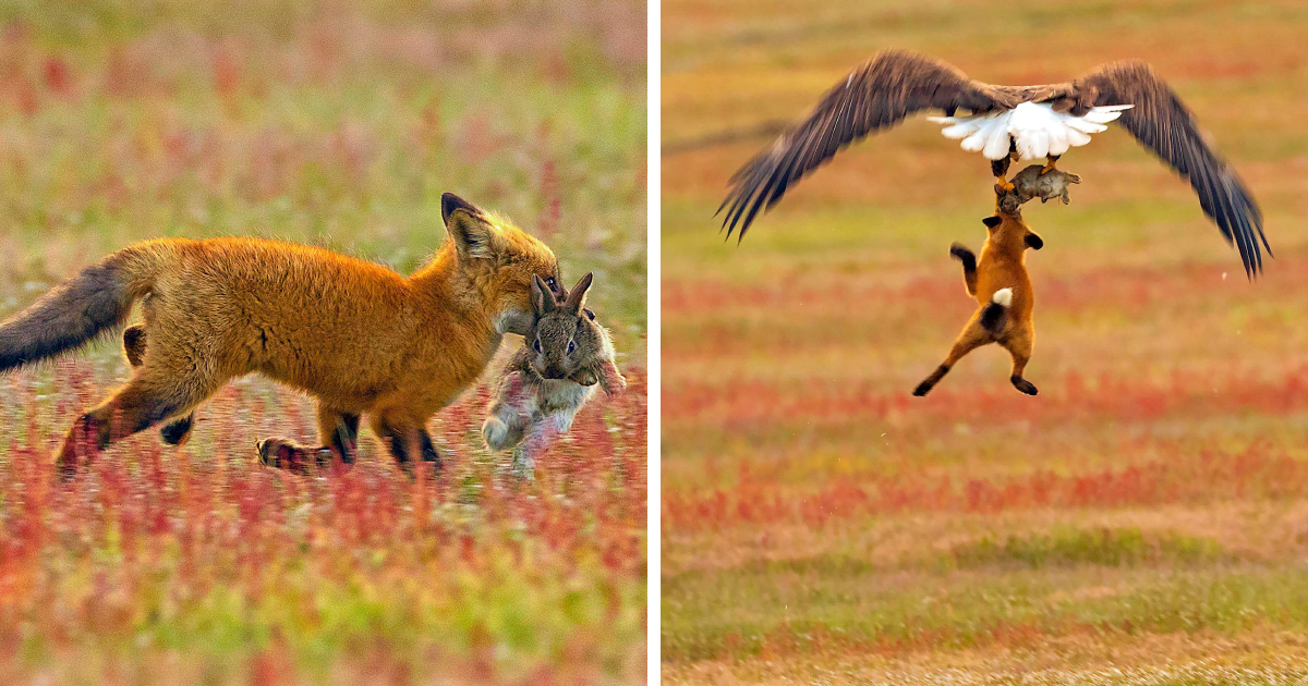 Photographer Shoots Epic Battle Between Fox And Eagle Over Rabbit, And It Gets More And More Epic With Each Ph