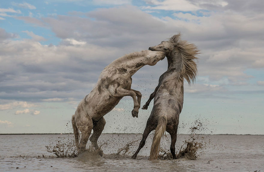 Stallions Playing, Grand Prize