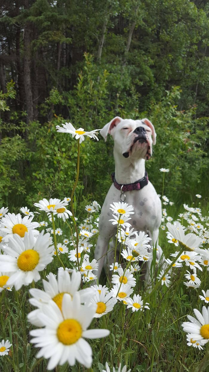 I Took A Picture Of My Boxer Enjoying A Ditch Full Of Daisies