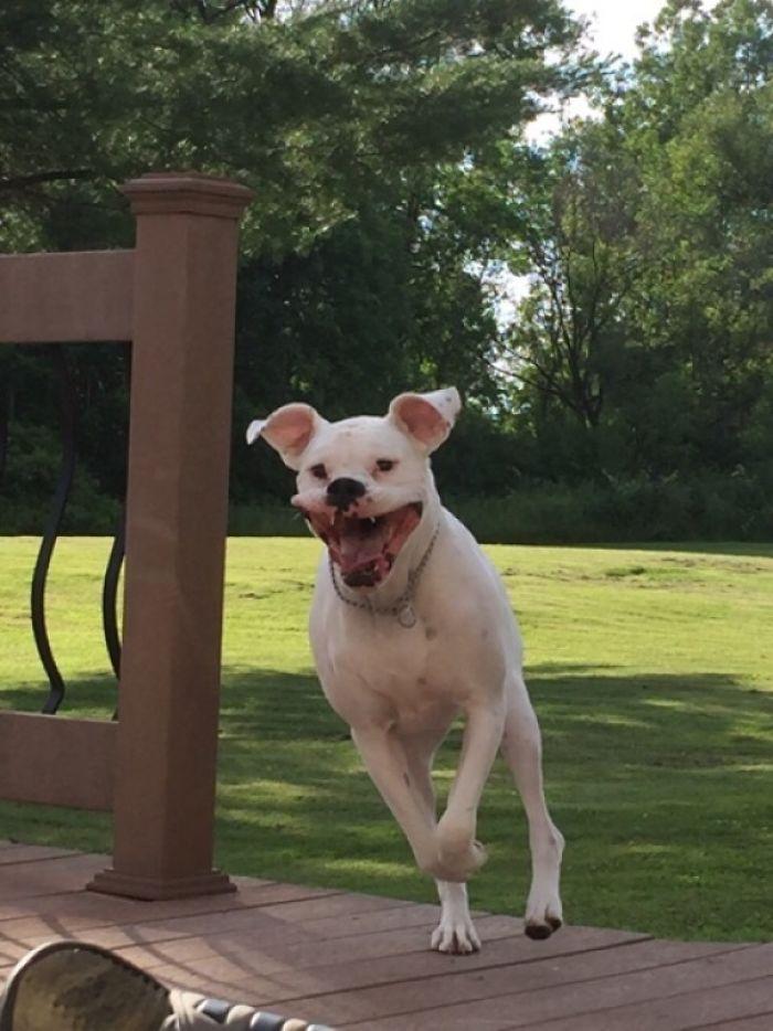 White Boxer Mid-Jump