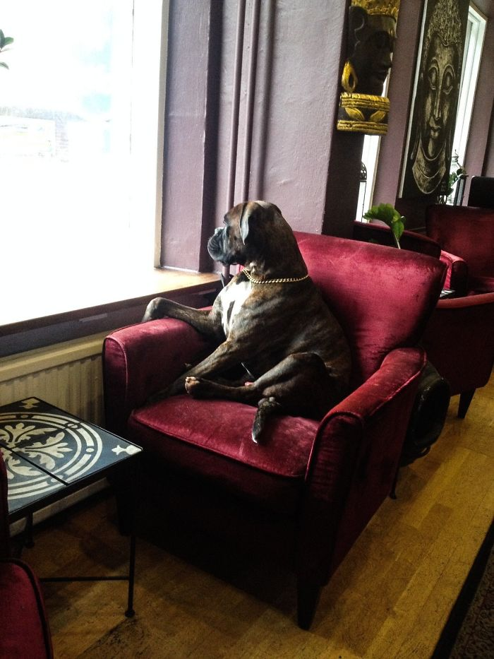 Cute Boxer Watching Through Window I Found In A Coffee Shop The Other Day