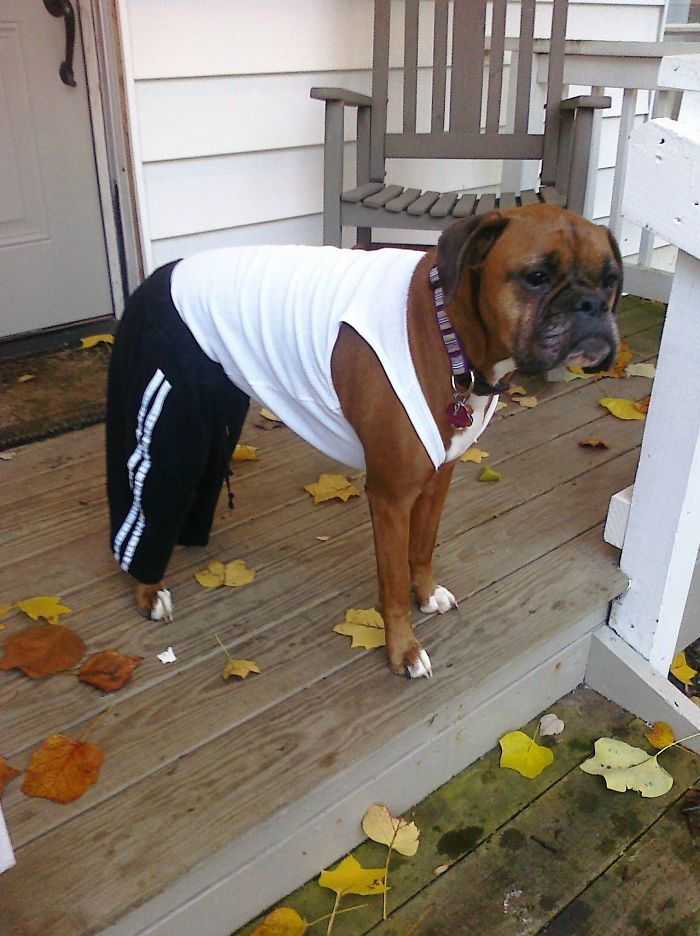 I Told My Wife I Want Our Boxer To Look Tough. I Think She Nailed It