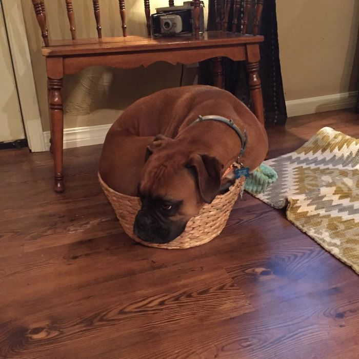 Molly's New Thing Is To Lay In Her Toy Basket