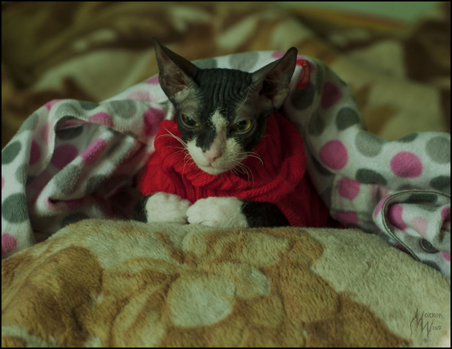 Sphynx From Russia Waits For Warmer Times