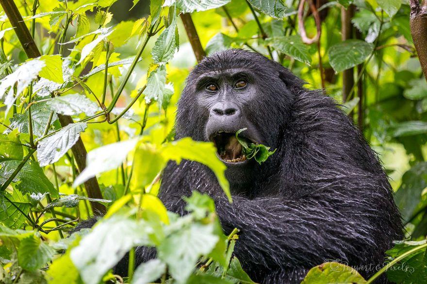 woman-stripper-with-gorilla-partner-xxxs-picther-chaina