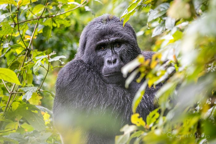 I Went Gorilla Tracking In The Pouring Rain In Uganda And Got Very Wet (But It Was Amazing)