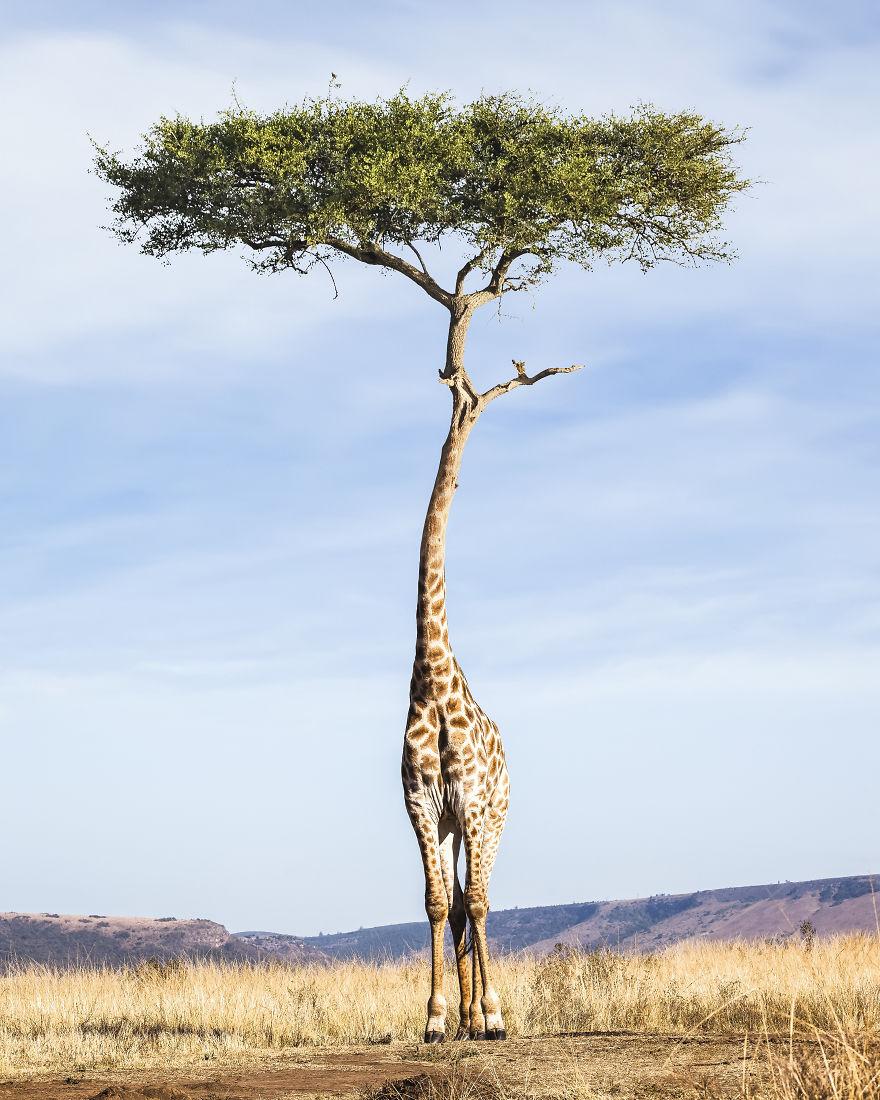 Tree Giraffe