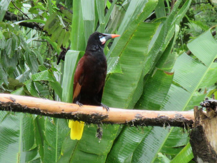 Montezuma Oropendola A Bird That Sounds Like A Space Ship!