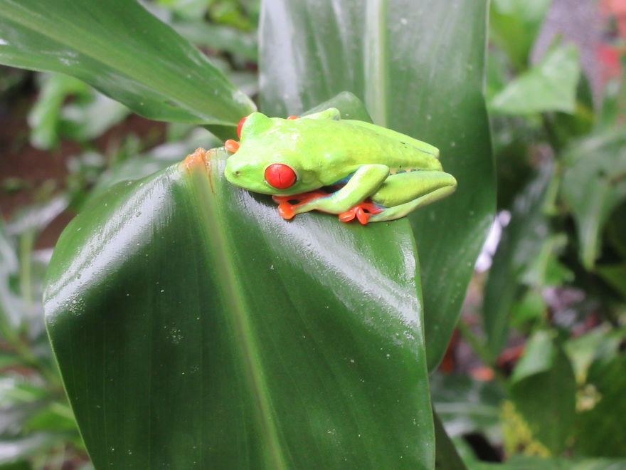 A Red Eyed Tree Frog!