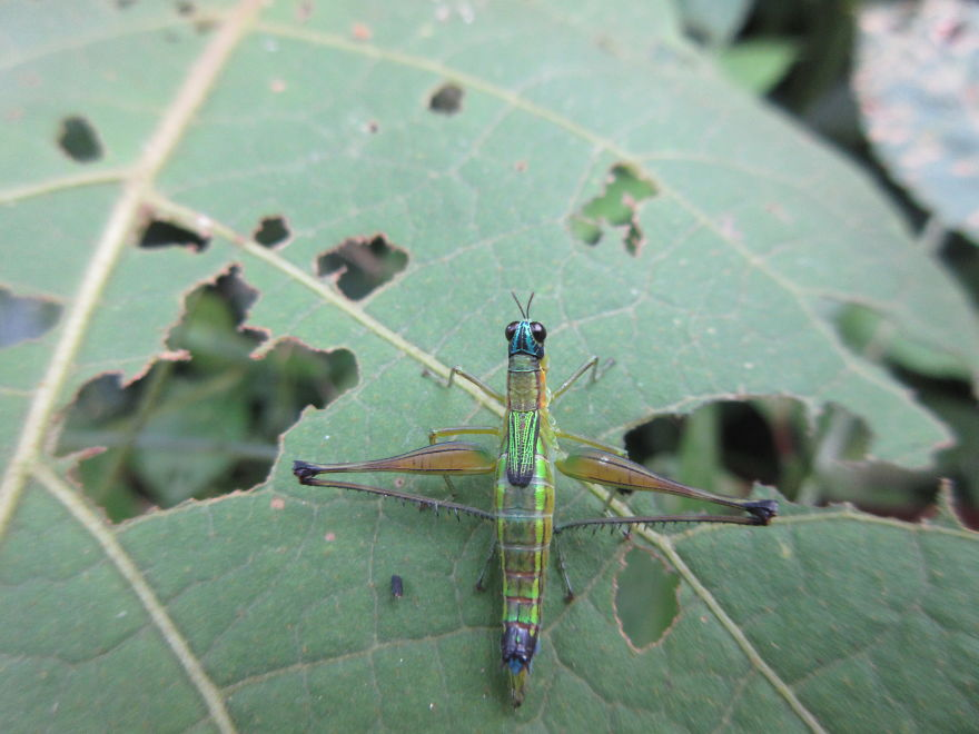 Beautiful Blue And Green Grasshopper That Looks Like A Crossbow!