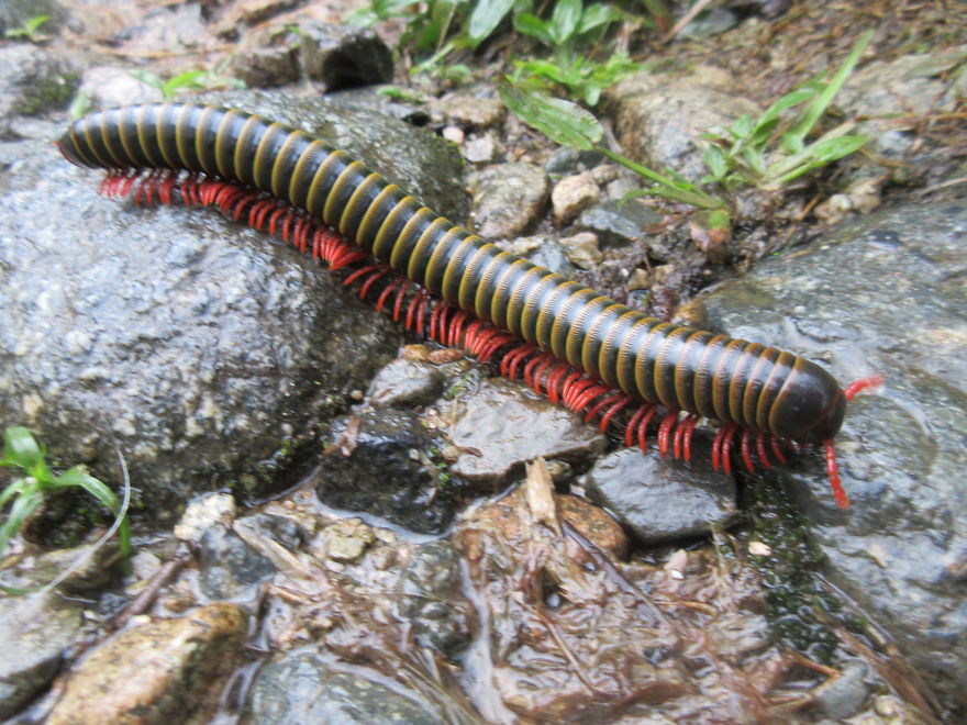 Gigantic Colourful Millipede, As Wide As Your Finger And 6 Inches Long!