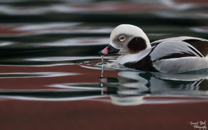 Another Birder's Favourite - The Long-Tailed Duck