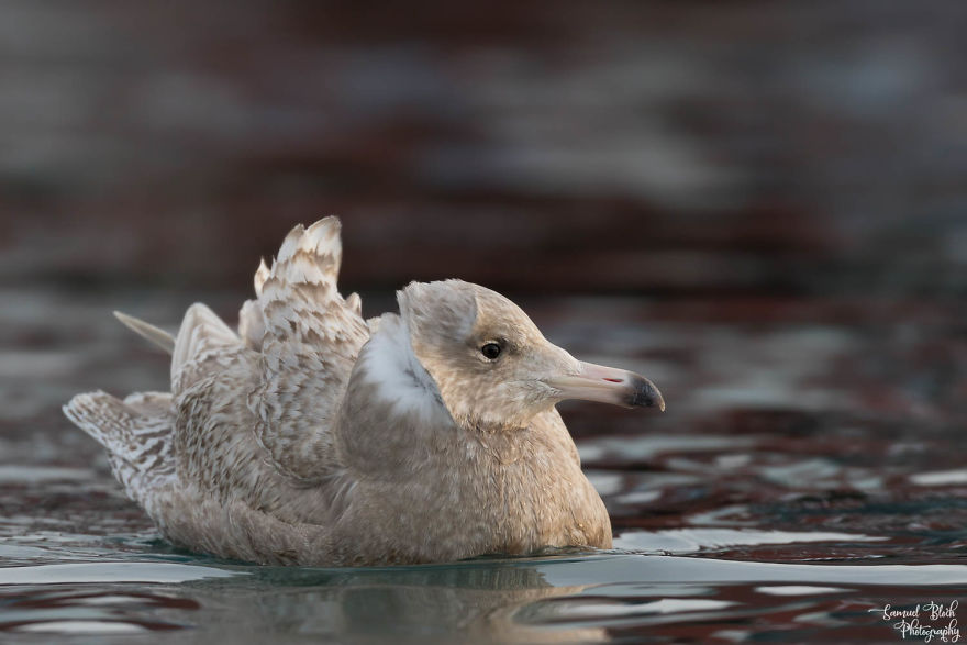 A Young Glaucous Gull On A Windy Morning