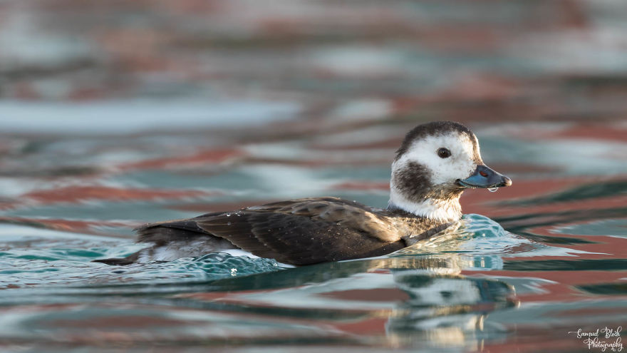 Long-Tailed Duck - The Female This Time, In Early Morning Light