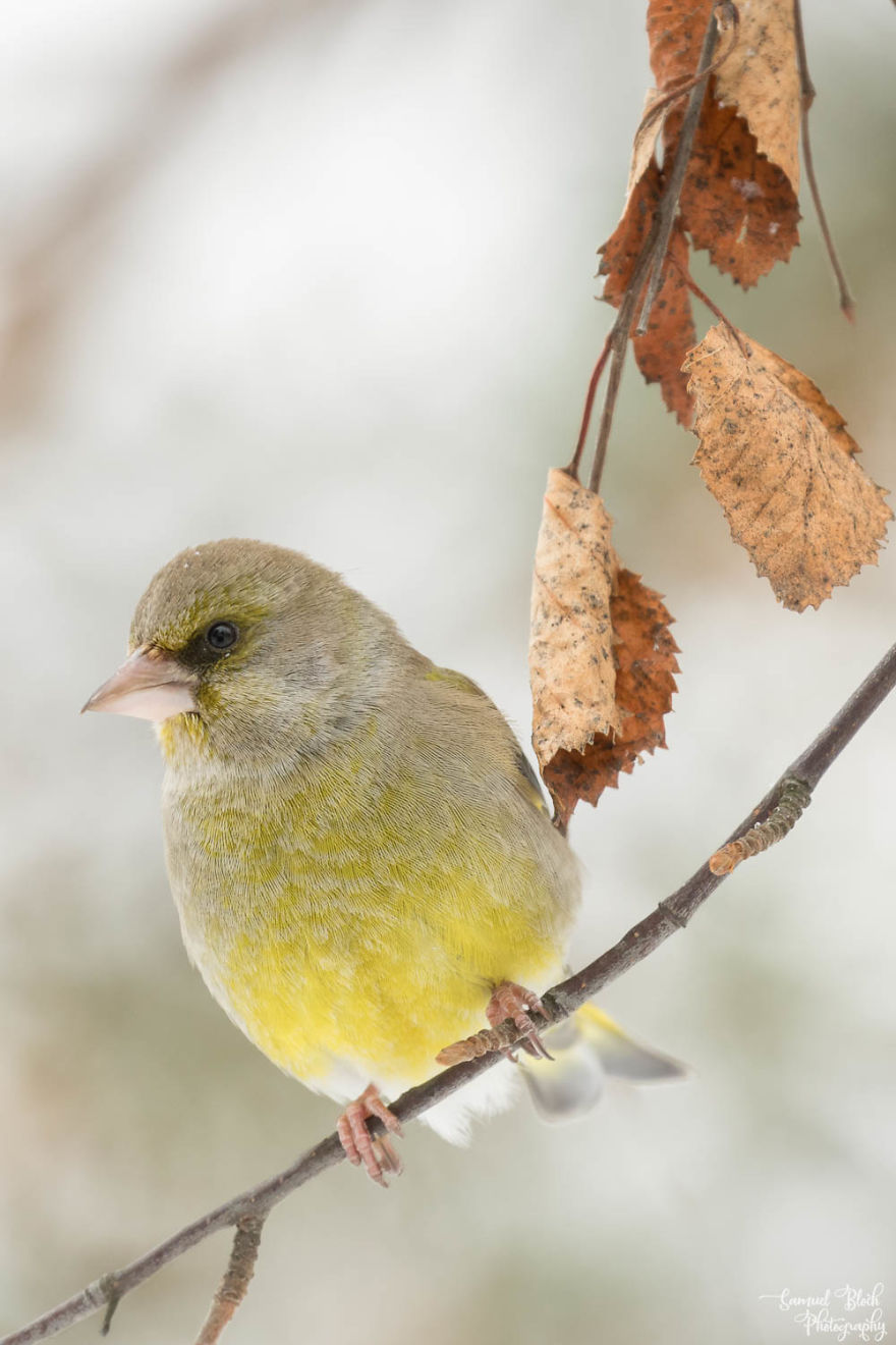 A Male Greenfinch