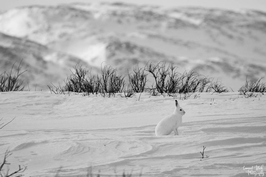 Camouflage - That's A Mountain Hare