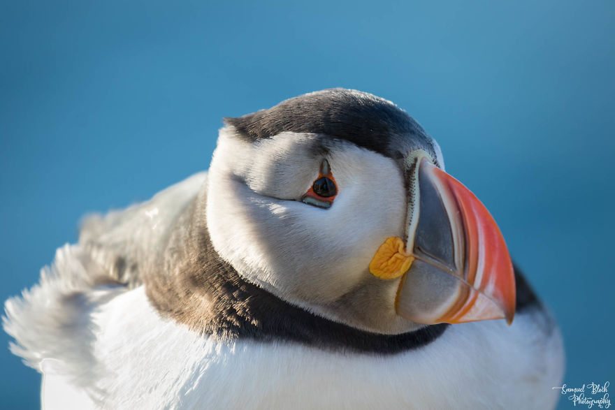 "Atlantic Puffin, Nicknamed ""Sea Parrot"" In Several Languages"