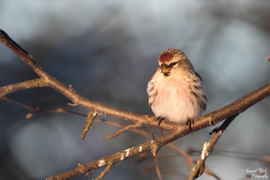 Probably An Arctic Redpoll In Sunset Light