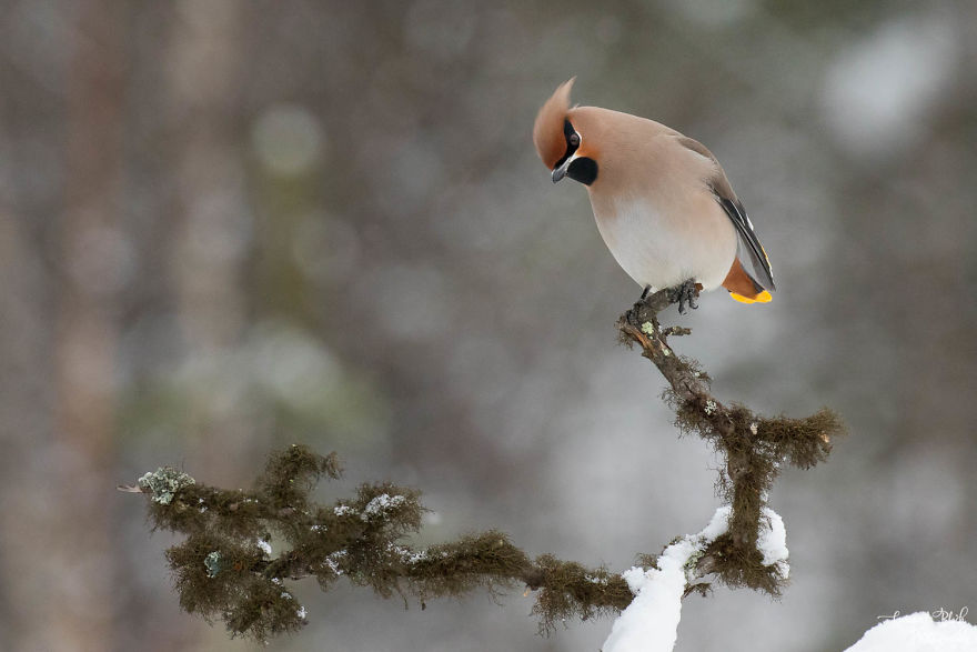 The Bohemian Waxwing, Gangster Of The North